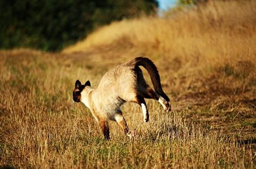 imágenes gratis Gato corriendo en la pradera