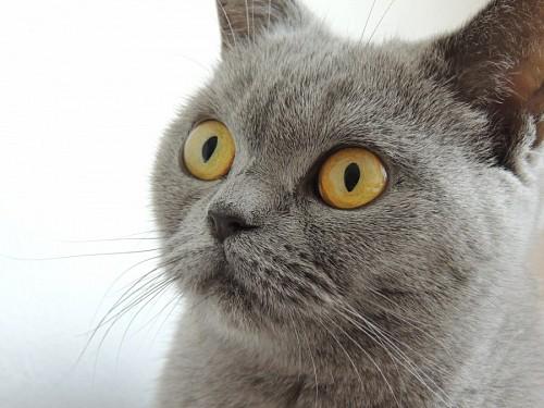 Primer plano de felino concentrado