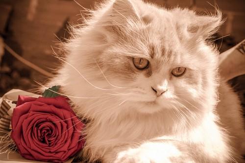 Gato romántico junto con una rosa para fondo de pantalla