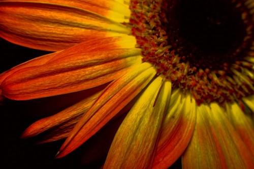 imágenes gratis Parte de Gerbera Amarilla Macro