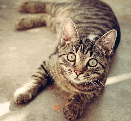 Adorable gato mirando fijo a la camara