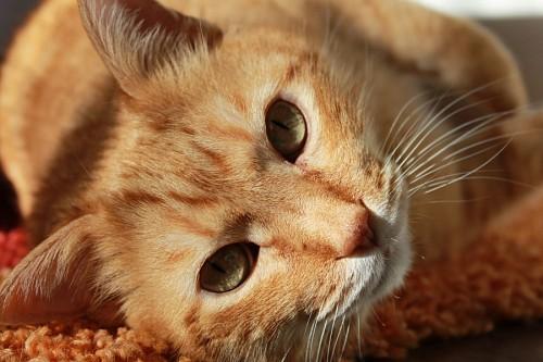 Gato dorado observando