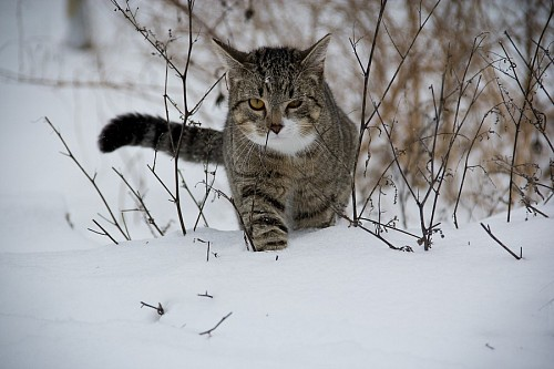 Gato caminando en la nieve