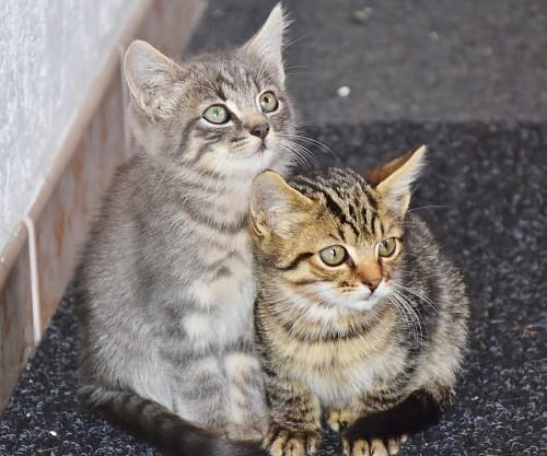 imágenes gratis Pequeños hermanos felinos
