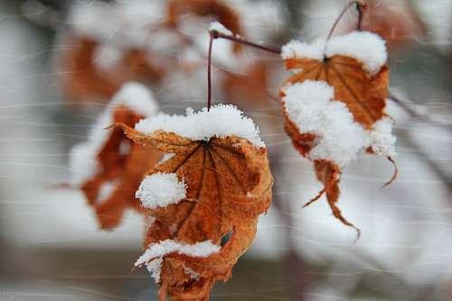 imágenes gratis Hojas Nevadas en Invierno
