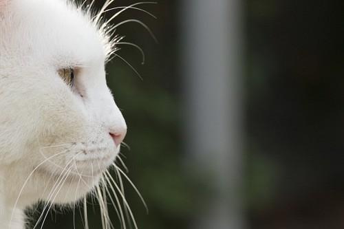 imágenes gratis Bigotes de gato blanco