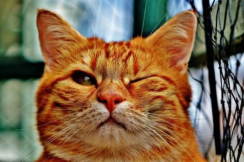 imágenes gratis Simpático gato dorado guiñando el ojo
