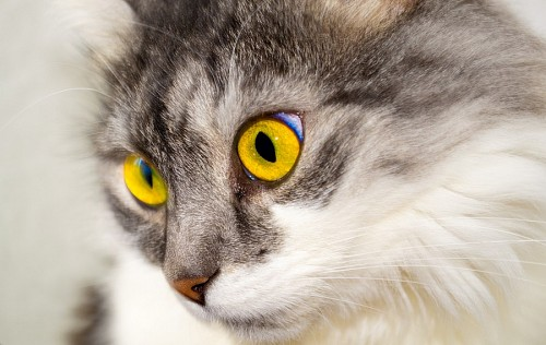 Mirada amarilla de felino