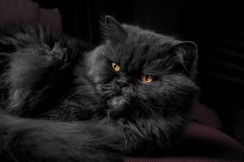 Majestuoso gato negro sobre sofá bordo