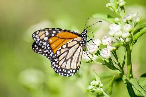 Mariposa posando sobre capullo con fondo verde