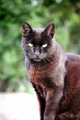 Primer plano de Gato negro