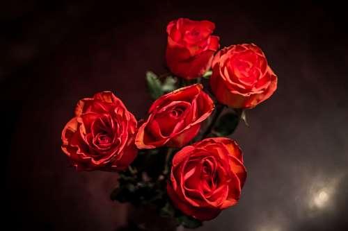 imágenes gratis Rosas Rojas