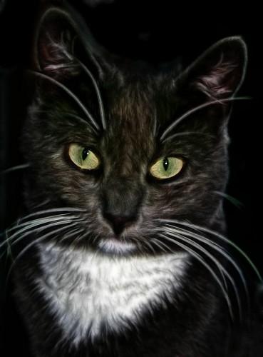 Primer plano de gato en HDR