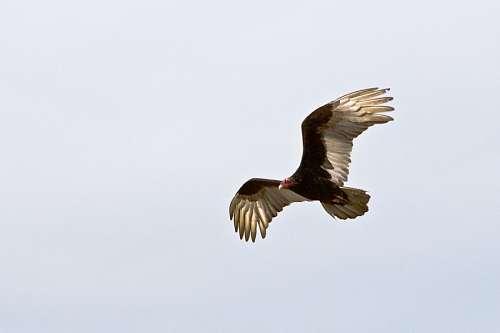 Aguila con las alas extendidas