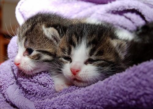 imágenes gratis Adorables gatitos recien nacidos cobijados en manta violeta