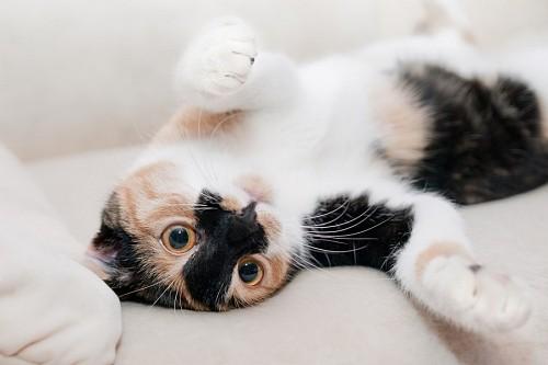 Divertido gatito tricolor jugando