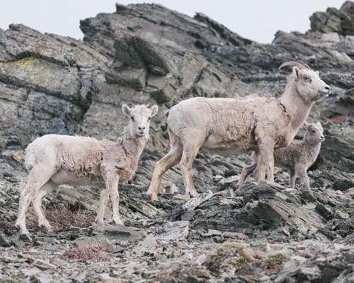 Cabras de Montaña
