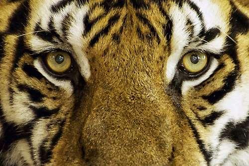 imágenes gratis Tigre