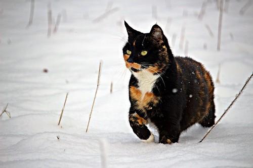 Gato de la suerte tricolor merodeando en la nieve