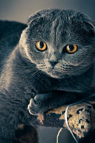 imágenes gratis Simpático gatito gris con mirada dorada penetrante