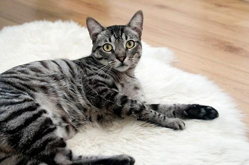 imágenes gratis Gato acostado sobre alfombra blanca