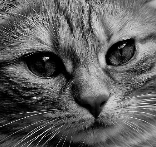 imágenes gratis Retrato felino en blanco y negro