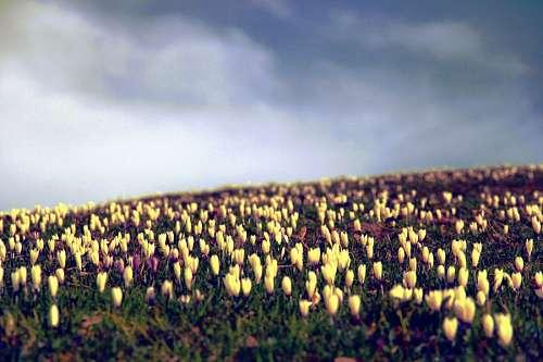 imágenes gratis Tulipanes
