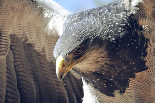 Primer plano de águila