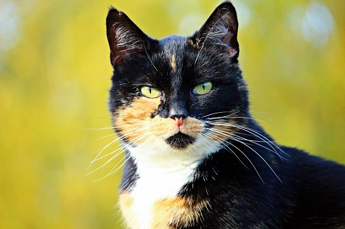 Primer plano de gato de la suerte
