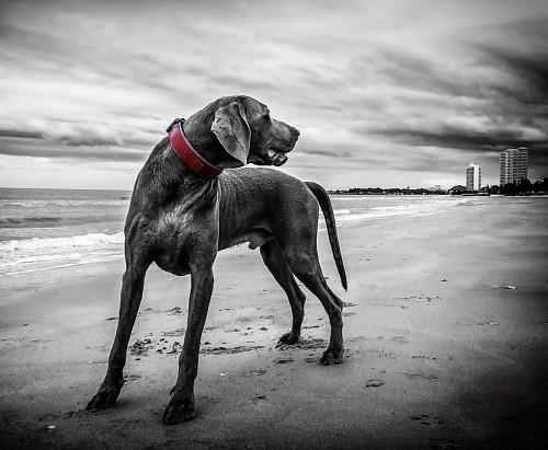 Perro Braco de Weimar en la plaza