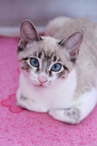 Dulce gatito siames sobre alfombra rosa