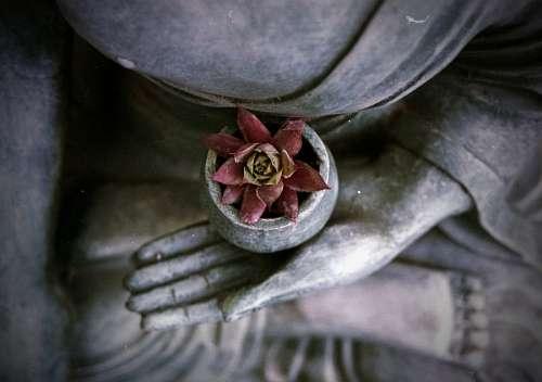 imágenes gratis flor de loto