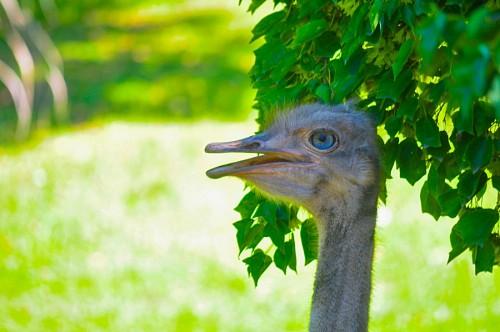 Perfil de avestruz