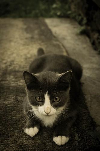 imágenes gratis Tierno felino gris y blanco
