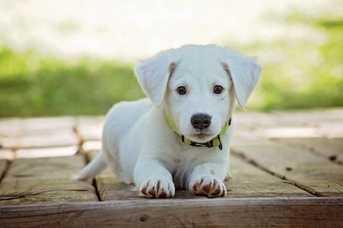 Tierno cachorro blanco