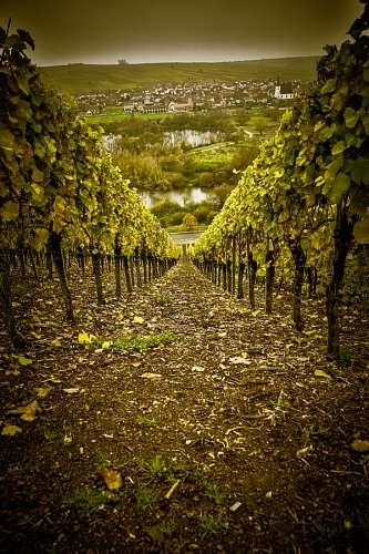 imágenes gratis Nordheim am Main, Alemania, Viñedo,