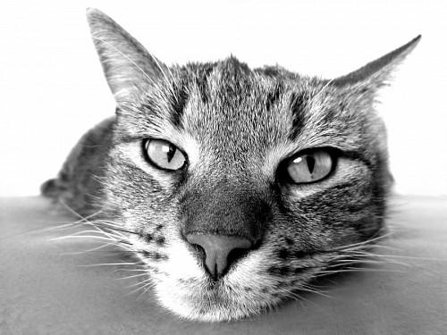 Mirada de felino relajado en blanco y negro