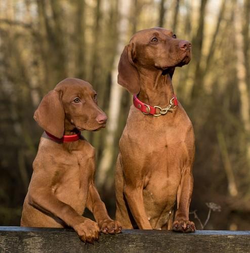 Cachorros weimaraner marrones