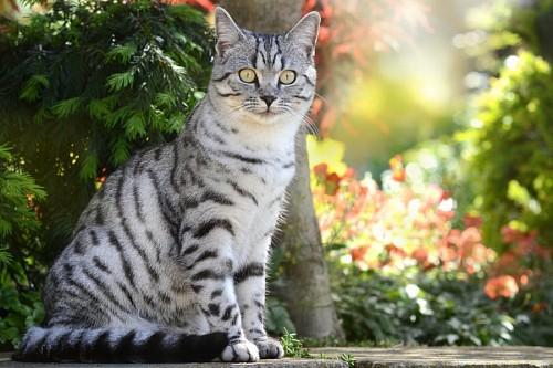 imágenes gratis Gato atigrado gris con vibrante mirada en el jardín