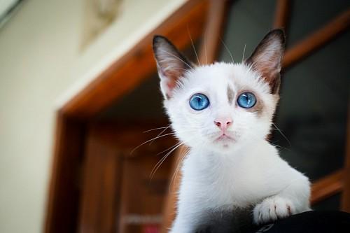 imágenes gratis Joven gatito blanco con mirada turquesa
