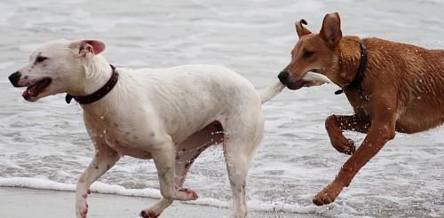 Traviesos perros jugando y tomandose de la cola