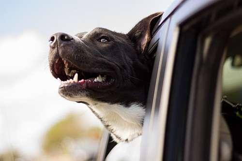 Perro viajando en el auto