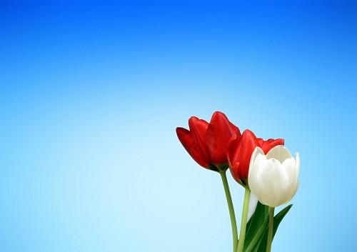 Tulipanes rojo y blanco