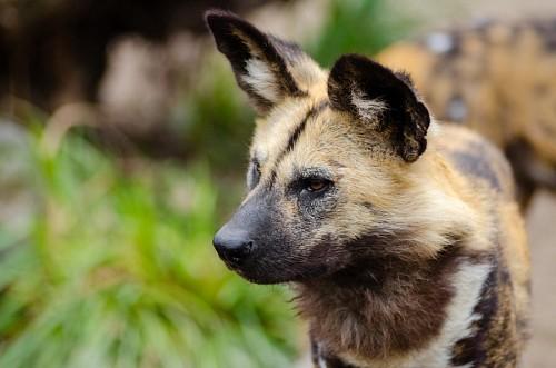 imágenes gratis  Perro salvaje africano