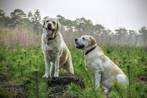 Perros labradores adultos en los matorrales