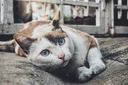 Bello gato callejero de ojos azules
