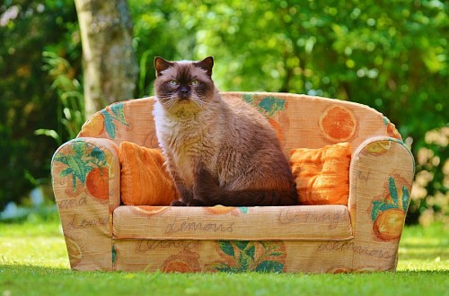 Felino posando en el sofá