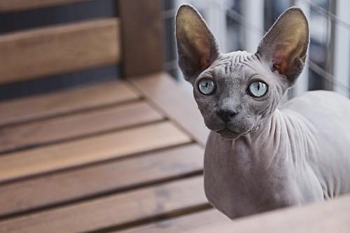 imágenes gratis Gato egipcio Sphynx de ojos celeste