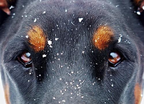 Bella mirada canina bajo la nieve
