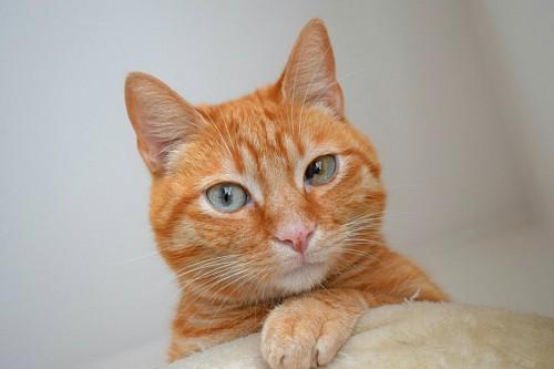 imágenes gratis Felino pelaje rojo y ojos husky
